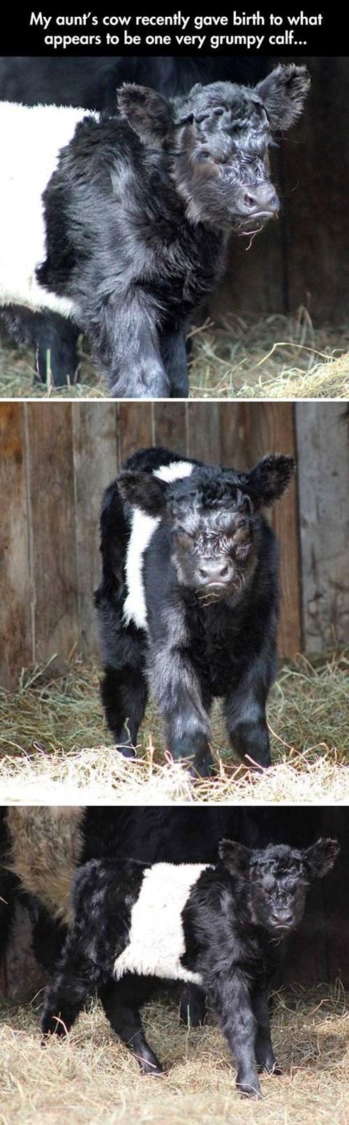 calf cute grumpy newborn funny - 8162617344