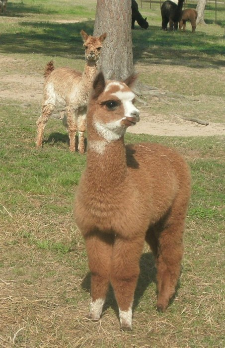 alpaca,cute,fleece