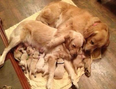 cute,family,dogs,puppies