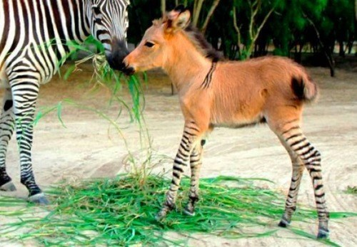 Babies cute donkey mixed breed zebra zonkey - 8163747072