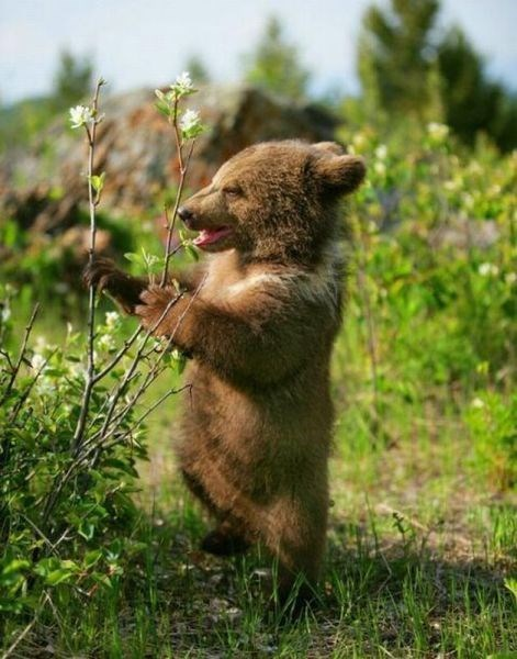 nature bears cute cubs - 8166155520