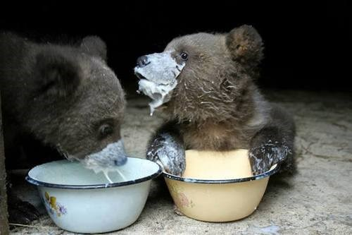 bears,cute,cubs,messy,noms
