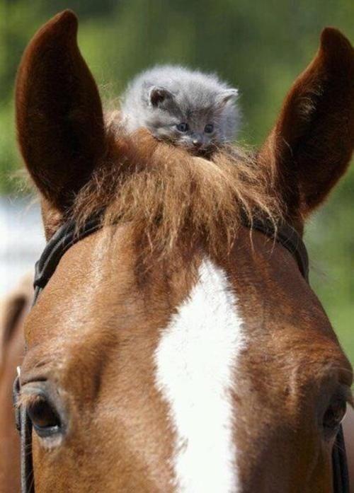 kitten,cute,horses