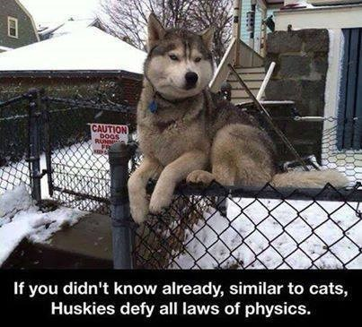 dogs huskies Gravity Cats - 8166204416