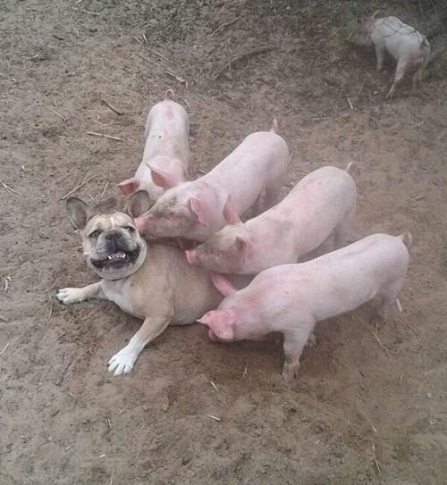 dogs kids pig parenting - 8166876416
