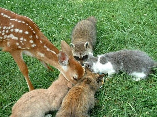 sharing,fawns,deer,noms,Cats,rabbits