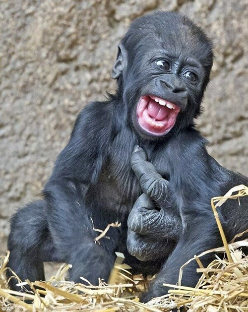 Babies cute gorilla ticklish - 8167148288