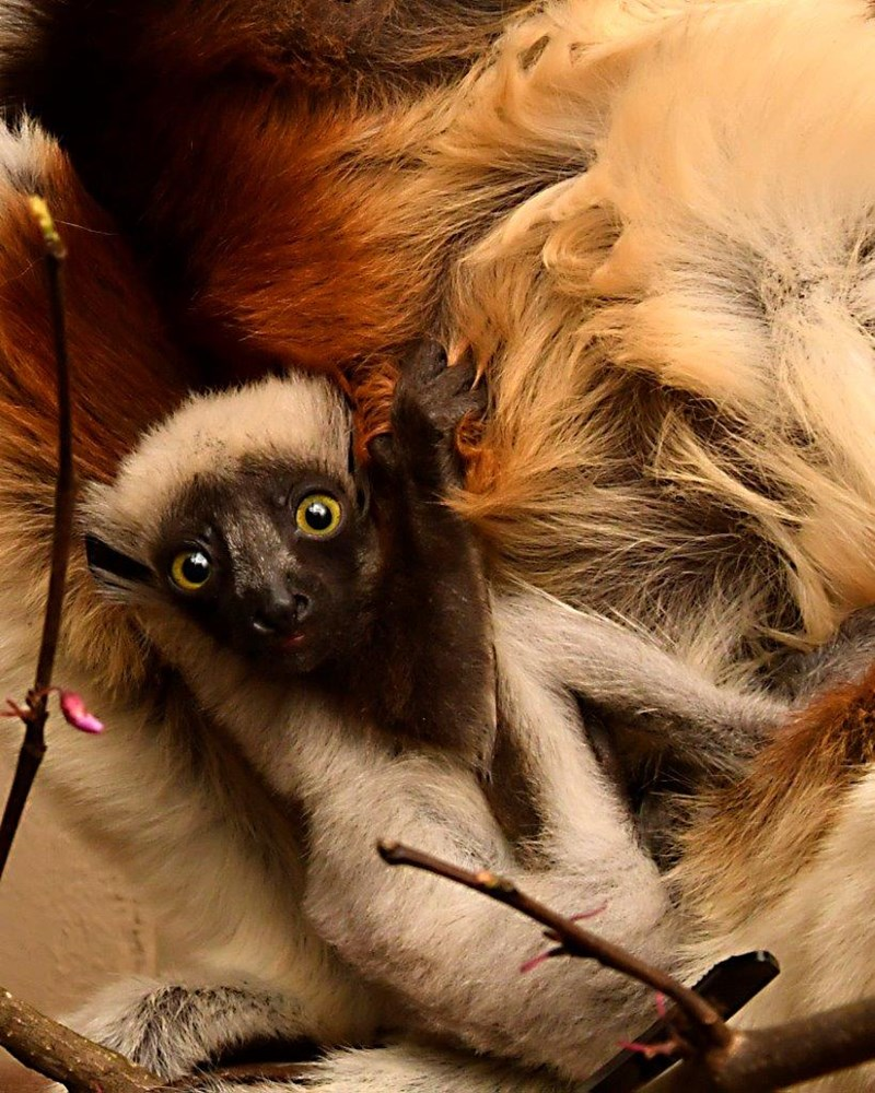 lemurs legend Zoboomafoo legendary lemur - 8167173