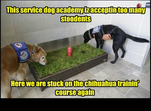 This service dog academy iz acceptin too many stoodents Here we are stuck on the chihuahua trainin' course again