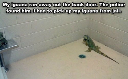 lizards jail funny iguana