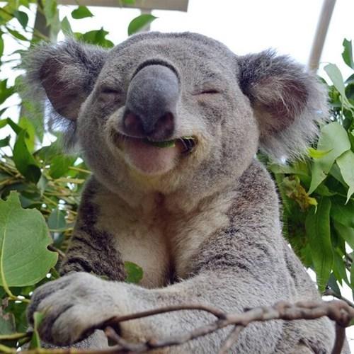 australia koalas cute noms smile - 8168357120