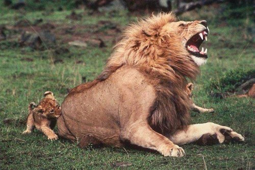 annoying kids cubs funny lions - 8169523968