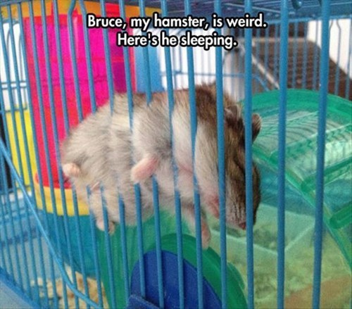 hamsters uncomfortable sleeping weird
