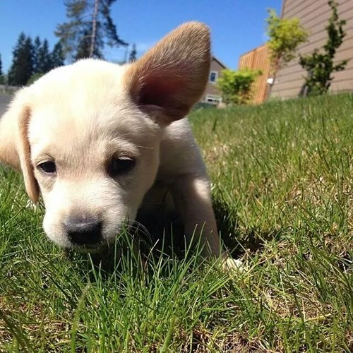 cute puppies labrador noms - 8170653184