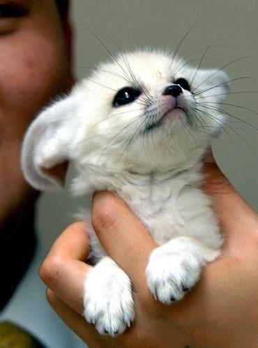 Babies cute white fox - 8170661632