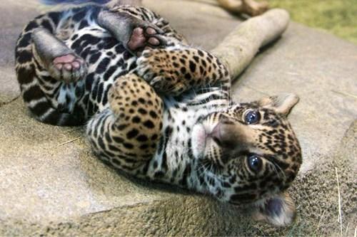 cute cubs leopard kitten - 8170694656