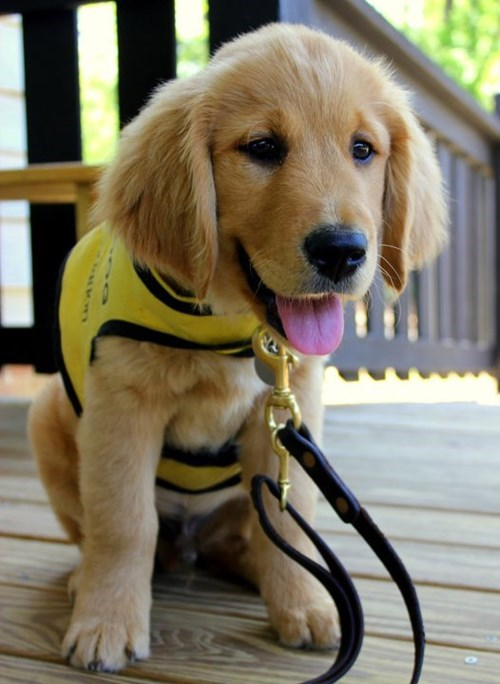 cute dogs puppies guide dogs - 8171928576