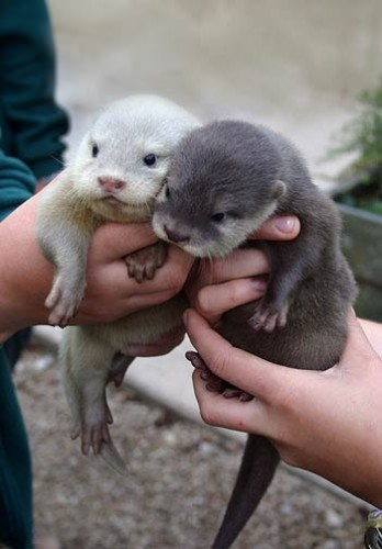 Babies adorable cute siblings otters - 8171945728