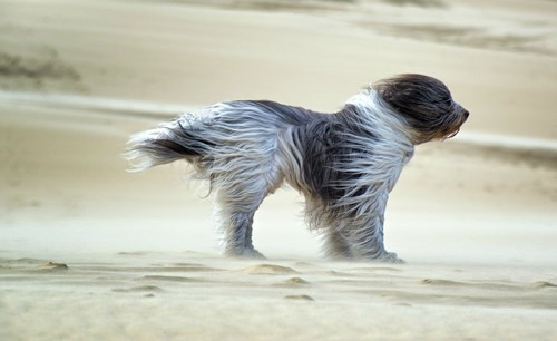 dogs,desert,sand,funny,wind,sheep dogs