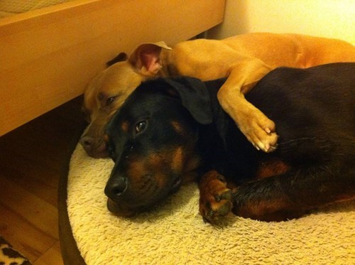 cute dogs friends snuggle - 8171993344