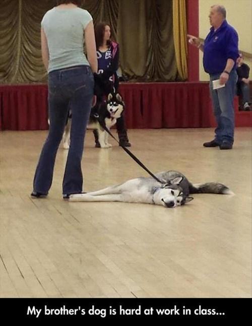 dogs lazy funny school - 8172034304