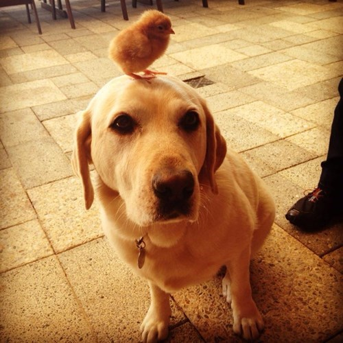 cute balance dogs chick chicken - 8174965248
