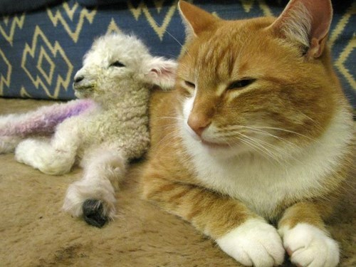 Cats snuggle lambs squee - 8175011072