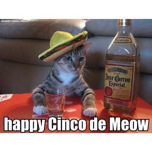 Cats cinco de mayo funny tequila - 8175057920