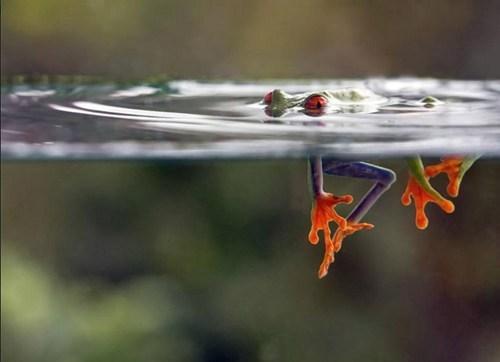cute frogs hiding water - 8175373568