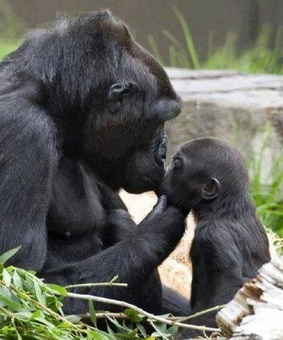 cute gorillas KISS mama