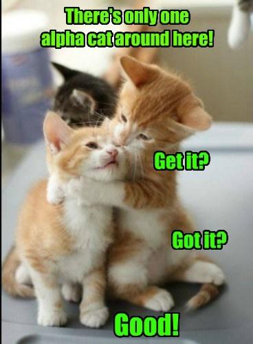 bully bossy kitten Cats - 8176131584