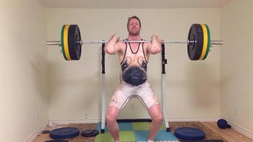 dogs,pug,poorly dressed,weightlifting,singlet,g rated