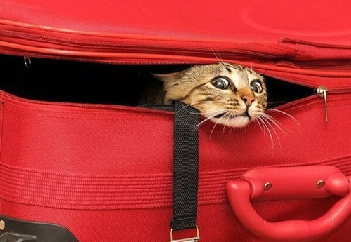 Cats,luggage,trip