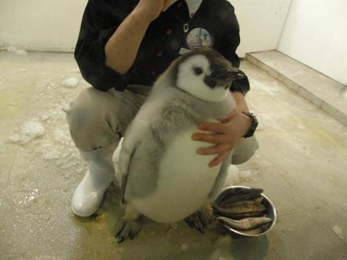 cute fish Fluffy penguins noms - 8177563136