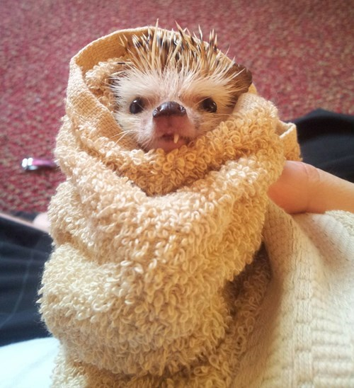 cute,hedgehog,teeth,snaggletooth