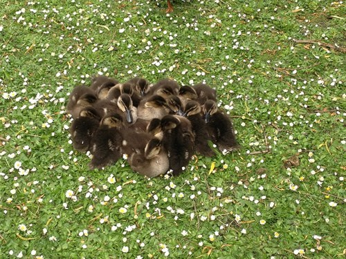 cute cozy ducklings siblings - 8177580544
