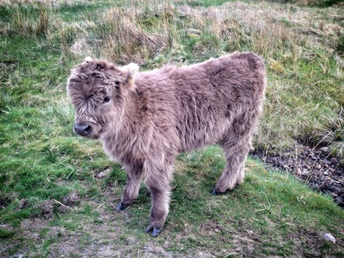 cute,calf,Fluffy