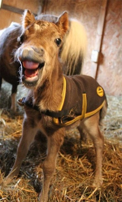 cute foal horses smile - 8177649152