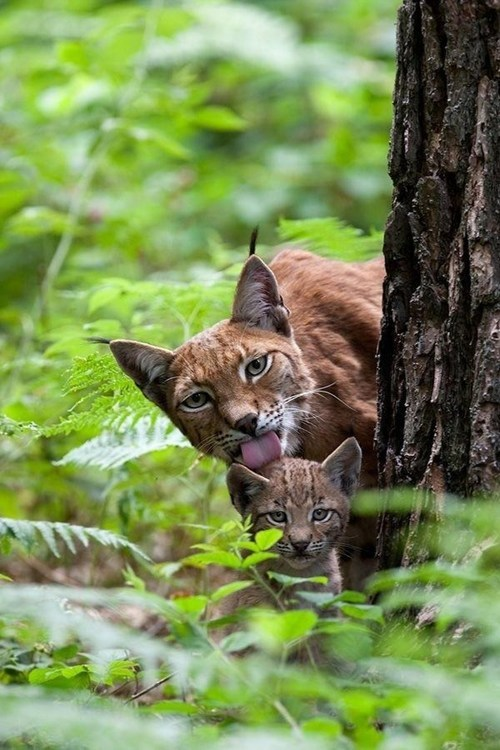 cute,mothers day,moms,lynx