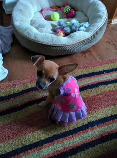 dogs,poorly dressed,chihuahua,dress
