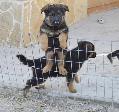 dogs escape puppies help funny - 8178922496