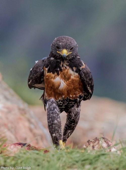 pics hawks Photo strut animals - 8179936512