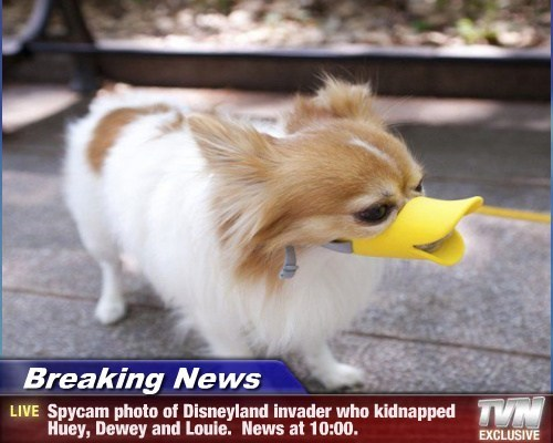 Breaking News - Spycam photo of Disneyland invader who kidnapped Huey, Dewey and Louie. News at 10:00.