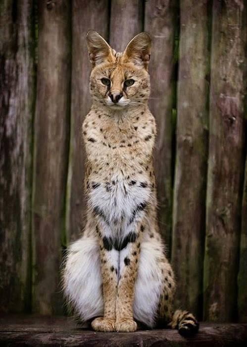 Cats cute big cats serval - 8180412416
