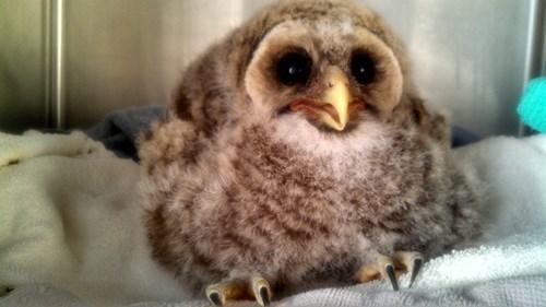 Babies cute Fluffy owls - 8180426496