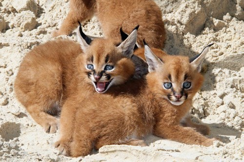 cute beach caracal kitten - 8180433152