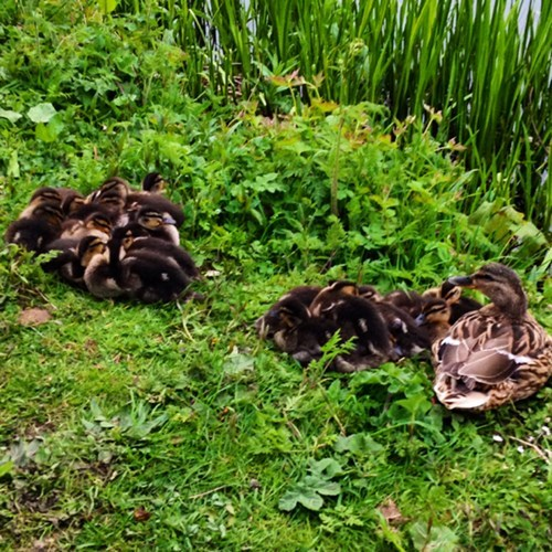 ducklings ducks - 8182630912