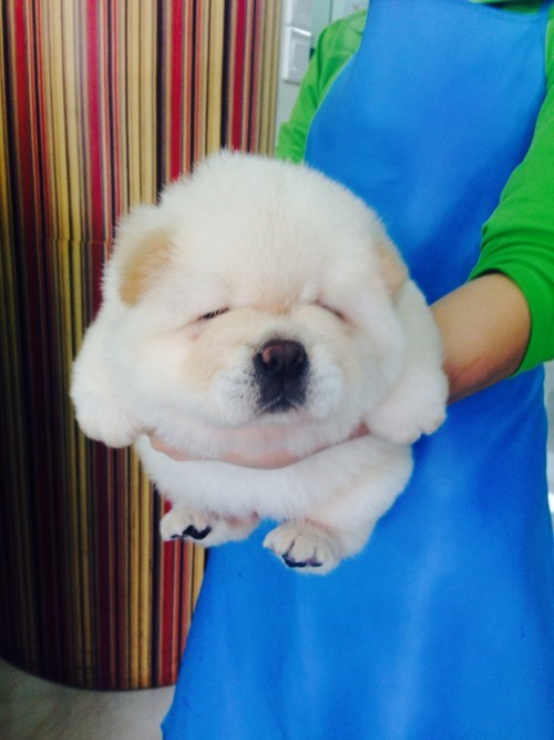 dogs puppies Fluffy cute - 8183968512