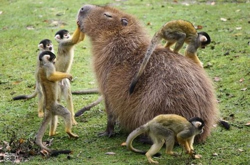 capybara,monkeys,royalty