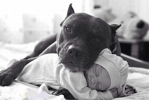 Babies dogs pitbull gentle
